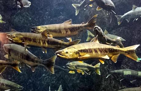 サケ親魚の展示