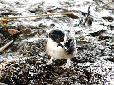 泥と枯れ草をくわえるイワツバメ