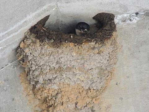 補修中のイワツバメの巣
