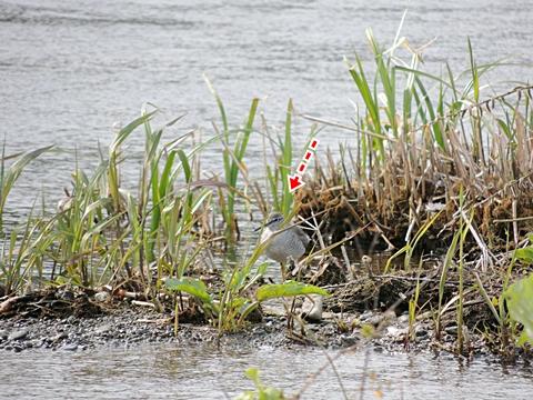草むらの中のキアシシギ
