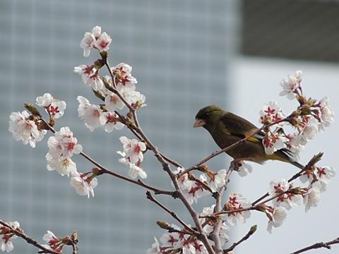 桜とカワラヒワ