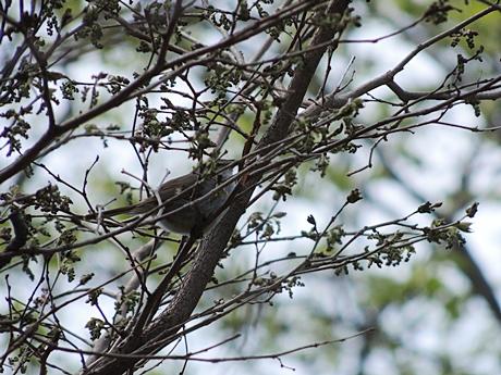 枝の間のウグイス