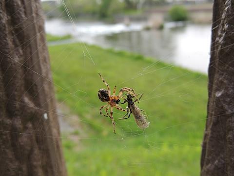 クモの巣にかかったカワゲラの仲間