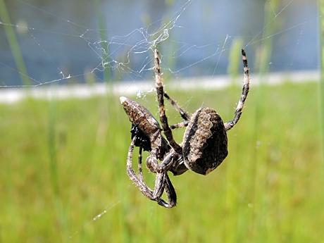 網にかかったコメツキムシの仲間