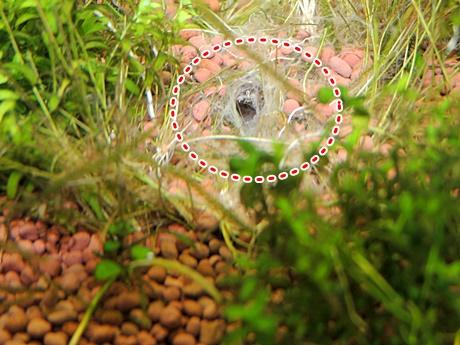 イトヨの巣