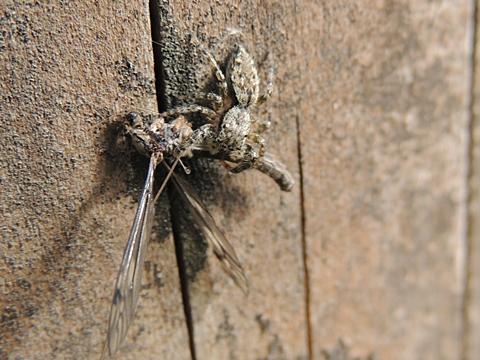 ガガンボを捕らえるハエトリグモ