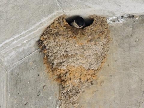イワツバメの巣