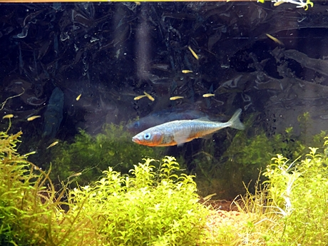 イトヨのオスと稚魚
