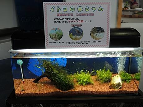 イトヨ稚魚展示水槽
