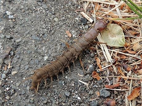 蛹化の場所を探す幼虫