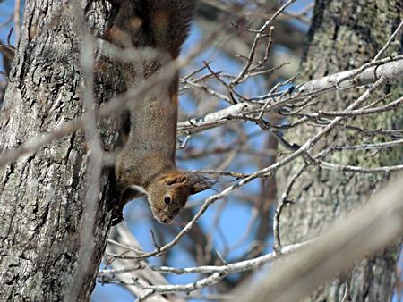 木の幹を下りるエゾリス